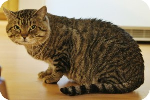 Domestic Shorthair Cat for adoption in Medford, Massachusetts - Tiber
