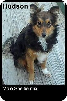 Sheltie, Shetland Sheepdog Mix Dog for adoption in New Jersey, New Jersey - NJ Middletown - Hudson