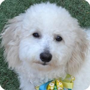 Bichon Frise Mix Puppy for adoption in La Costa, California - Benson
