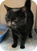 Domestic Shorthair Cat for adoption in Manitowoc, Wisconsin - Sable