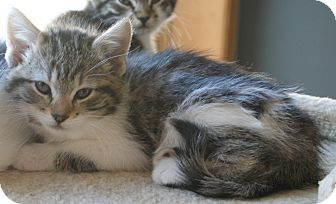 Domestic Mediumhair Kitten for adoption in Ogallala, Nebraska - Ellie