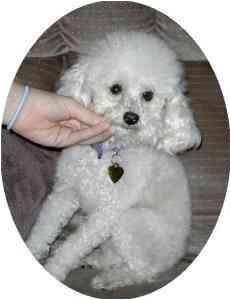 Poodle (Toy or Tea Cup) Dog for adoption in Melbourne, Florida - TRINKET