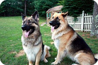 German Shepherd Dog Mix Dog for adoption in Boston, Massachusetts - Vega