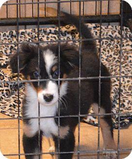 Australian Shepherd Mix Puppy for adoption in Overland Park, Kansas - Keebler