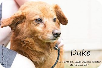 Golden Retriever/Sheltie, Shetland Sheepdog Mix Dog for adoption in La Porte, Indiana - Duke