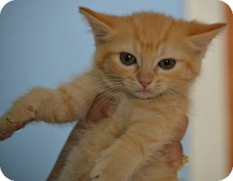 Domestic Shorthair Kitten for adoption in Michigan City, Indiana - Toulouse