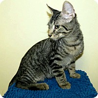 Adopt A Pet :: Spock - Edmond, OK