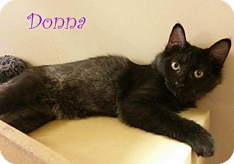 Domestic Mediumhair Kitten for adoption in New Braunfels, Texas - Donna