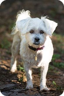 Shih Tzu/Westie, West Highland White Terrier Mix Dog for adoption in Tallahassee, Florida - Emmie - Adopted