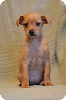 Miniature Pinscher Mix Puppy for adoption in Bedminster, New Jersey - Ambrosia