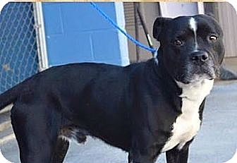 Boxer/American Pit Bull Terrier Mix Dog for adoption in Richmond, Virginia - GALLOWAY
