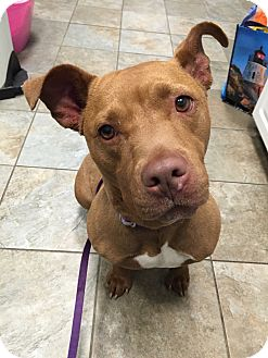 Pit Bull Terrier Mix Dog for adoption in Park Ridge, New Jersey - Jada