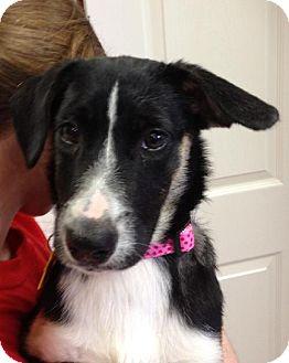 Collie Mix Puppy for adoption in Bloomington, Illinois - Libra