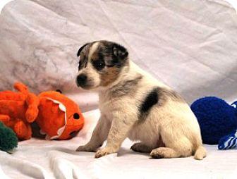 Sheltie, Shetland Sheepdog Mix Puppy for adoption in Chalfont, Pennsylvania - Grace
