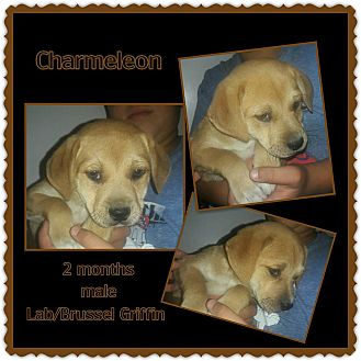 Labrador Retriever/Brussels Griffon Mix Puppy for adoption in Richmond, California - Charmeleon
