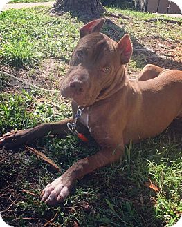 Pit Bull Terrier Mix Puppy for adoption in Loxahatchee, Florida - Dixie - Pawsitive Direction