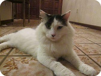 Maine Coon Cat for adoption in Cerritos, California - Shakari