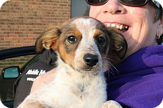 Australian Shepherd/Cattle Dog Mix Puppy for adoption in Sugar Grove, Illinois - Coral
