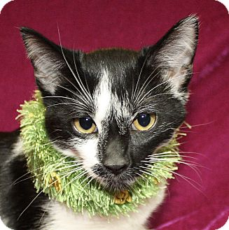 Domestic Shorthair Cat for adoption in Jackson, Michigan - Jamez