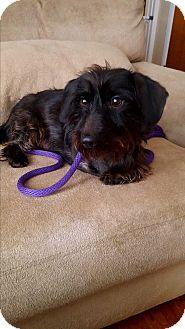 Terrier (Unknown Type, Small)/Dachshund Mix Dog for adoption in Lancaster, Pennsylvania - Sheldon