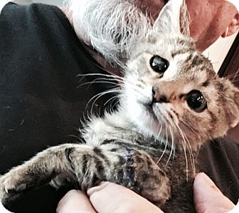 Domestic Shorthair Kitten for adoption in MESA, Arizona - Sophia