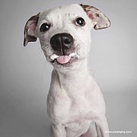 Pointer/Terrier (Unknown Type, Medium) Mix Puppy for adoption in Chicago, Illinois - Donna Rickles