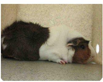 Guinea Pig for adoption in Fullerton, California - *Urgent* Aly