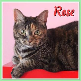 Domestic Shorthair/Domestic Shorthair Mix Cat for adoption in THORNHILL, Ontario - Rose