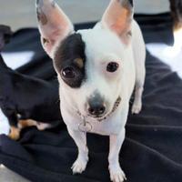 Adopt A Pet :: Lark - Seattle, WA