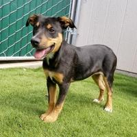 Adopt A Pet :: Lulu - Lakeside, AZ
