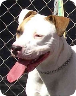American Pit Bull Terrier Dog for adoption in El Segundo, California - Catalina