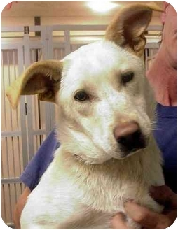 Labrador Retriever/Shepherd (Unknown Type) Mix Dog for adoption in Manassas, Virginia - Grenadine