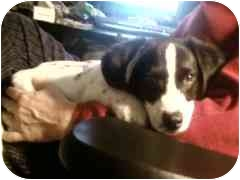 Basset Hound/Beagle Mix Puppy for adoption in Indianapolis, Indiana - Eve-ADOPTED!!!