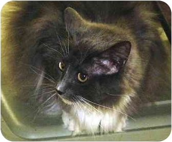 Domestic Longhair Cat for adoption in Chesapeake, Virginia - Pookie