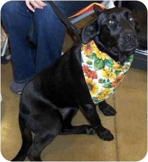 Labrador Retriever Mix Dog for adoption in Overland Park, Kansas - Honey
