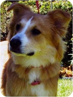 Border Collie Dog for adoption in Bellevue, Nebraska - Seamus