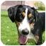 Photo 1 - Collie/Hound (Unknown Type) Mix Dog for adoption in Northville, Michigan - Teddy