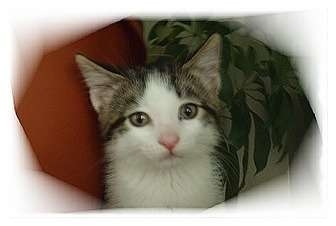 Domestic Shorthair Kitten for adoption in Montgomery, Illinois - Destiny