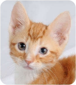 Domestic Mediumhair Kitten for adoption in Chicago, Illinois - Chilly