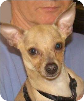 Chihuahua Dog for adoption in Millersburg, Ohio - Charlie