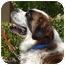 Photo 3 - St. Bernard Dog for adoption in Bellflower, California - Levi