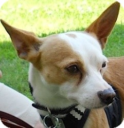 Chihuahua/Miniature Pinscher Mix Dog for adoption in Kingwood, Texas - Chico