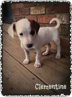 Rat Terrier/Feist Mix Puppy for adoption in Glastonbury, Connecticut - Clementine