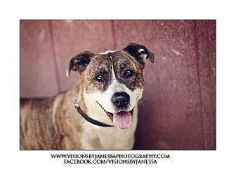 Australian Cattle Dog/Akita Mix Dog for adoption in Sacramento, California - Queenie