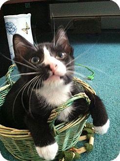 Domestic Shorthair Kitten for adoption in Trevose, Pennsylvania - Nabisco