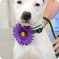 Adopt A Pet :: Charo - Rockaway, NJ