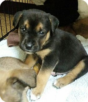 Boxer/German Shepherd Dog Mix Puppy for adoption in Thousand Oaks, California - Maddox