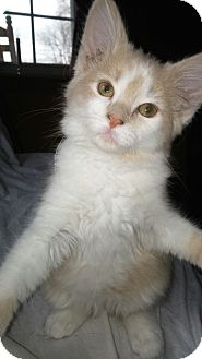 Domestic Mediumhair Kitten for adoption in Cincinnati, Ohio - Jimmy Buffet
