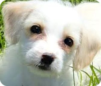 Poodle (Toy or Tea Cup)/Shih Tzu Mix Puppy for adoption in Wakefield, Rhode Island - RICHIE(SHIH-POO PUPPY! SO TINY