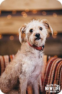 Silky Terrier Mix Dog for adoption in Portland, Oregon - Ralphie
